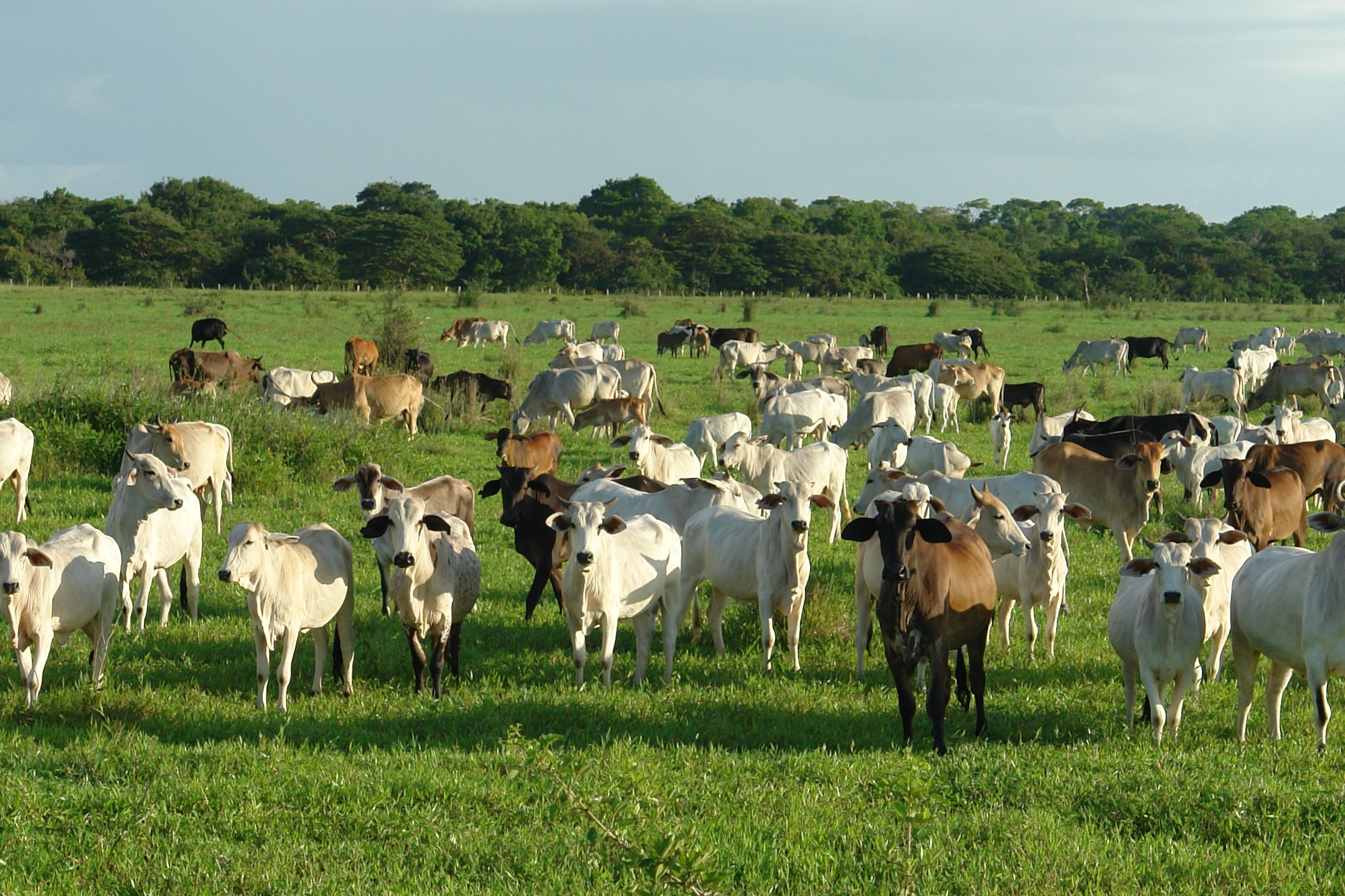 Cattle in a pasture.