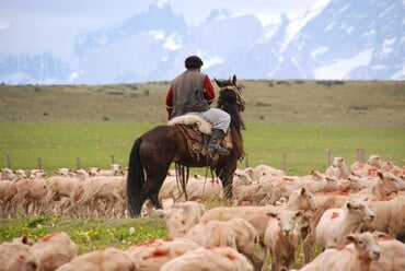 A Chilean gaucho herds sheep in this 2008 photo by Vera Donk.