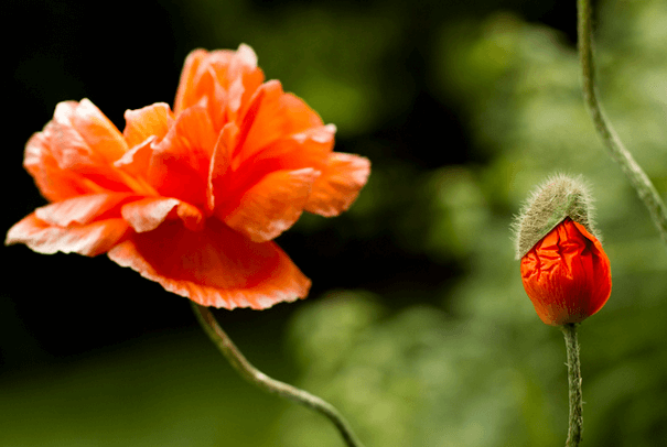 Two gorgeous red poppies -- one popped, and one just about to.