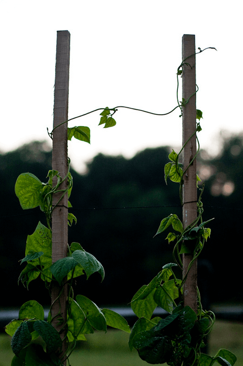 In this photo, entitled Reaching Out, two bean plants are climbing adjacent poles, and they have each reached out a tendril to bridge the gap.