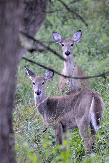 Two whitetail deer, photo by Joy Feerrar